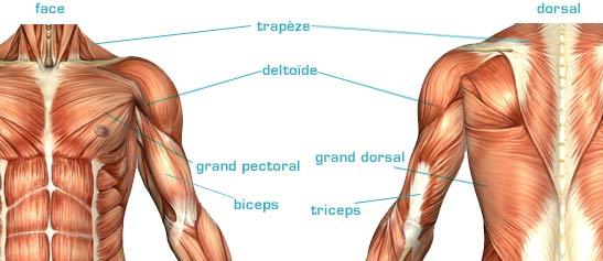 Les muscles : ce que vous devez savoir pour le BPJEPS